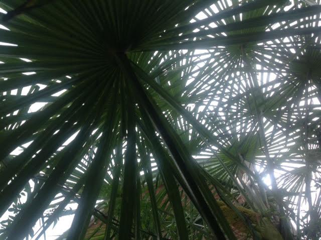eileens-trachycarpus-fortunei