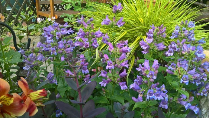 shirleys-penstemon