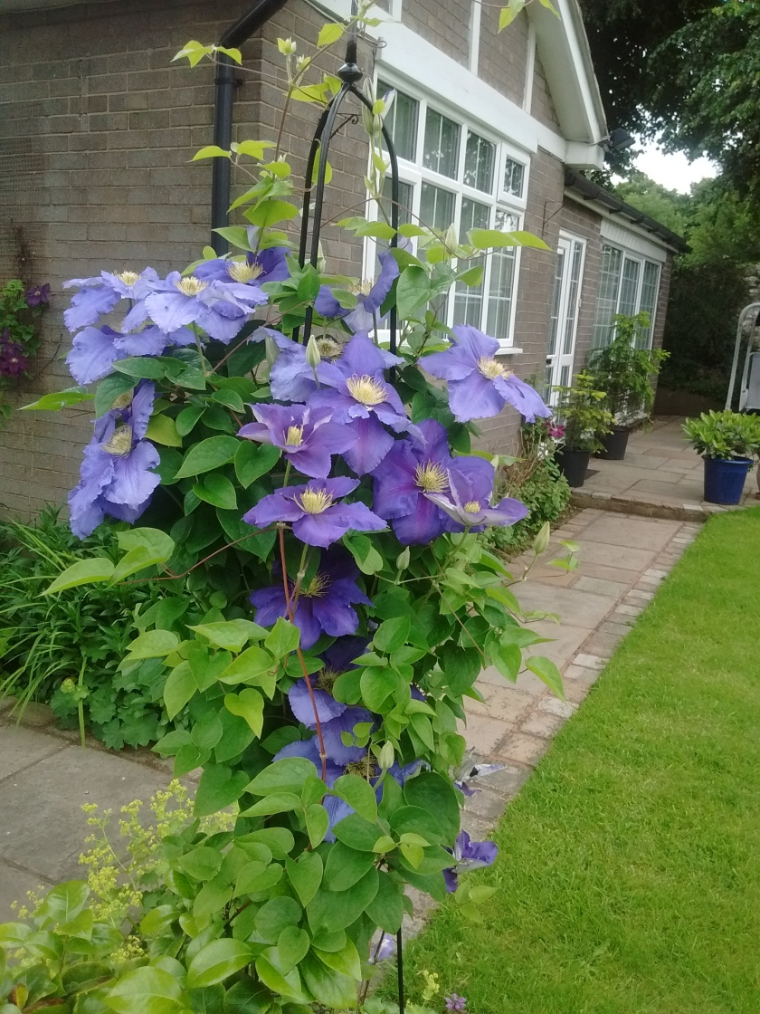 Rob's mother's clematis