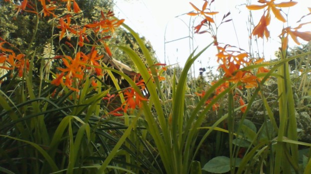 Crocosmia Golden Ballerina