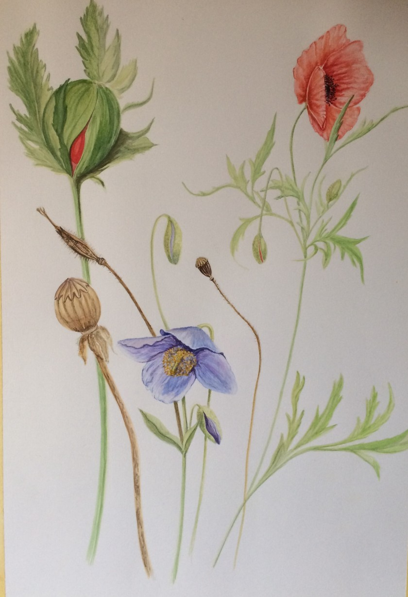 Glynis's botanical painting of poppies