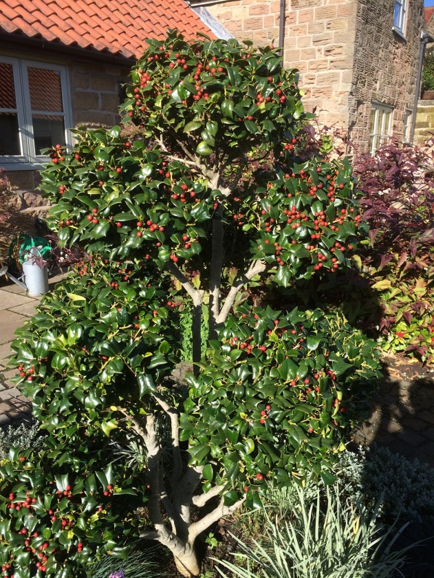 Glynis's holly A