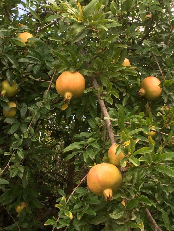 Glynis's Turkey pomegranate 3 A