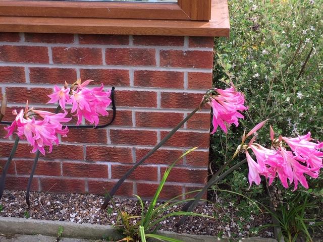 Judy's Amaryllis belladonna