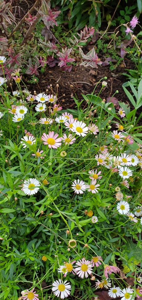 Julie's Chatsworth giveaway Mexican daisy A