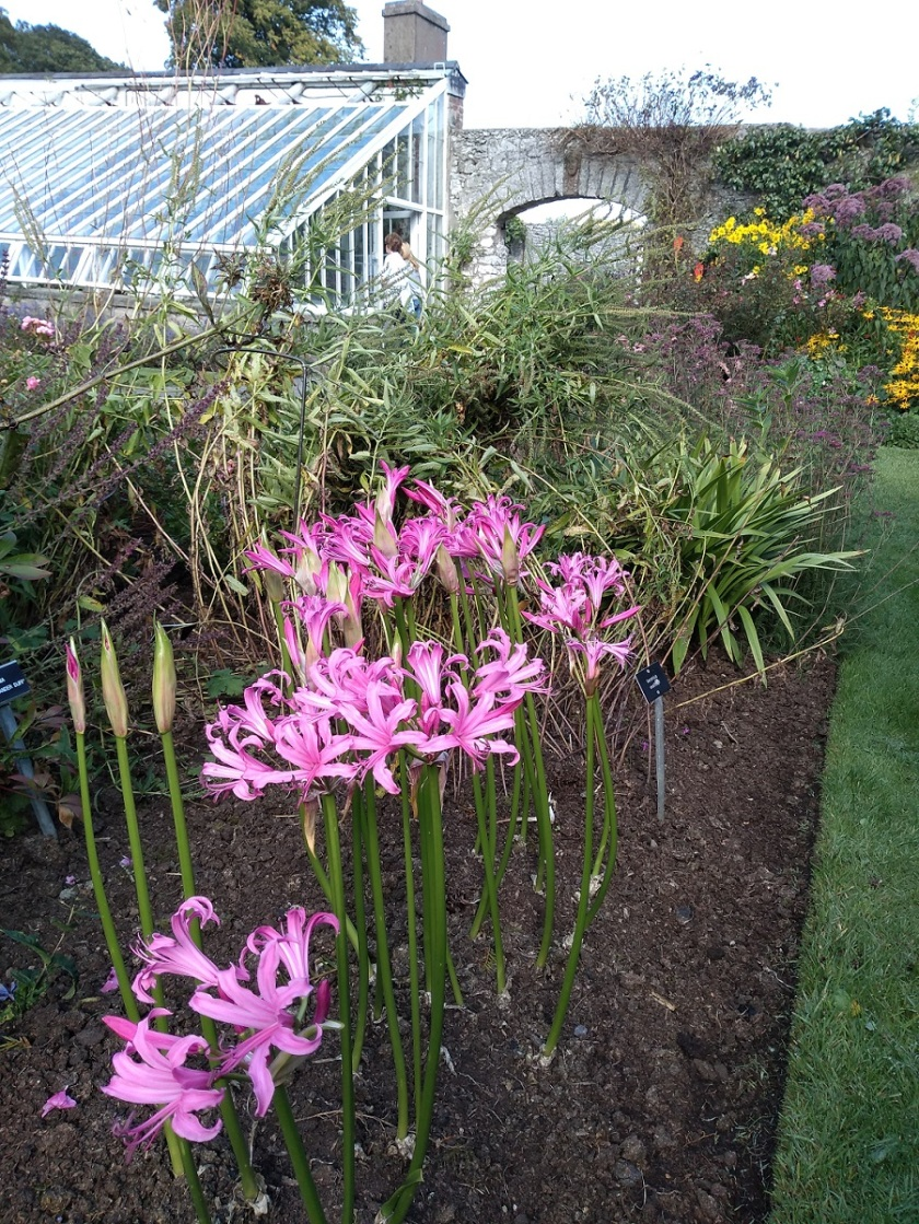Rob's Nerine bowdenii from Glenarm Castle Walled garden A