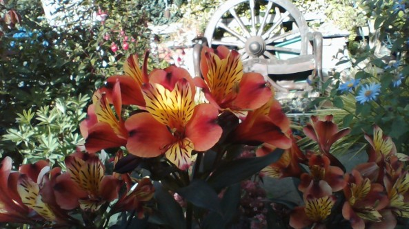 Shirley's Alstroemeria Indian Summer