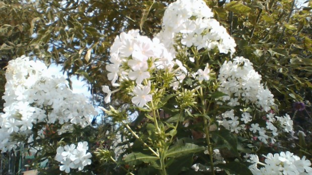 Shirley's Phlox from Hugh