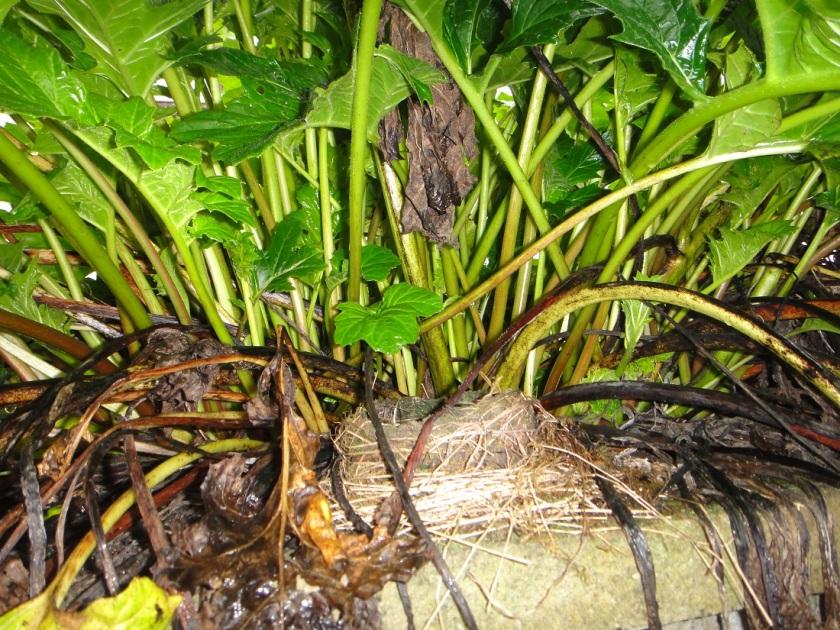 Jo's Acanthus blackbird's nest