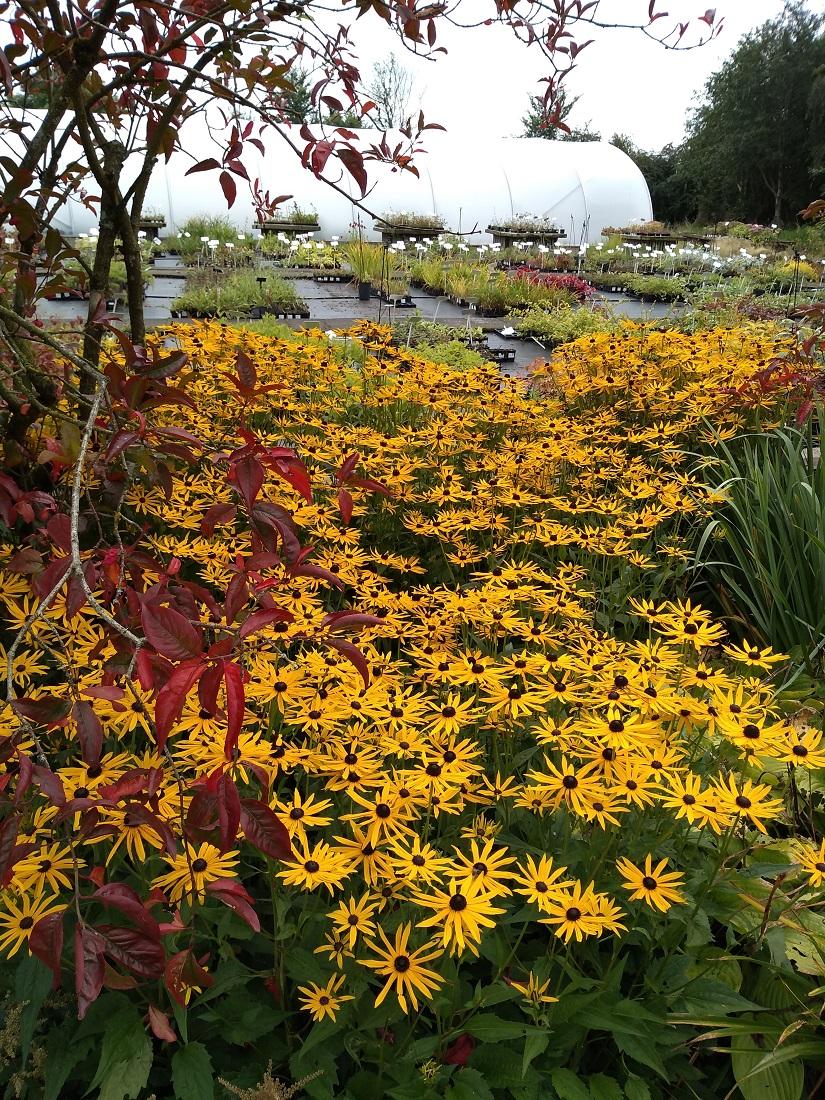 Rob's Ballyrobert Garden Rudbeckia A.jpg