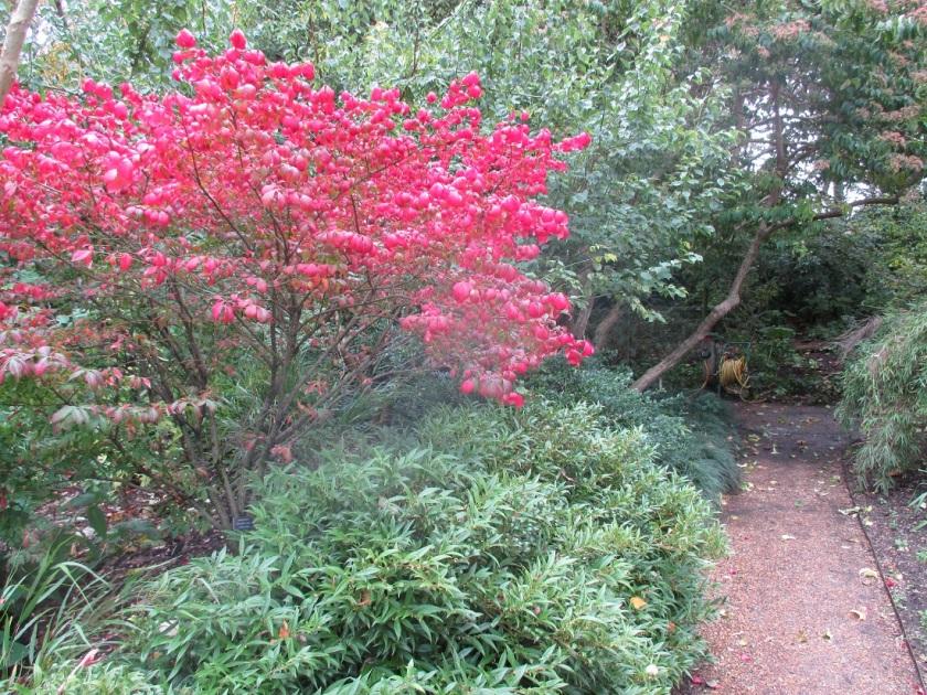 Rob's Chelsea Physic Garden Euonymus alatus A.jpg