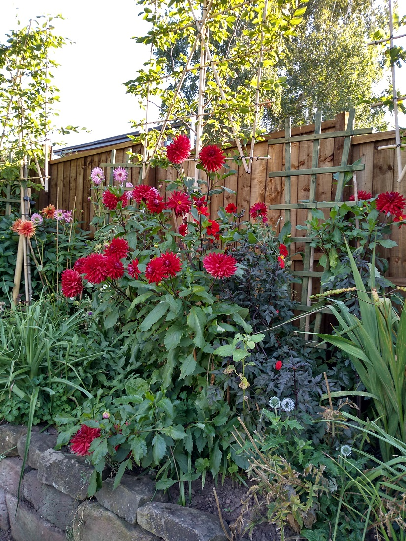 Rob's seasonal dahlias A.jpg