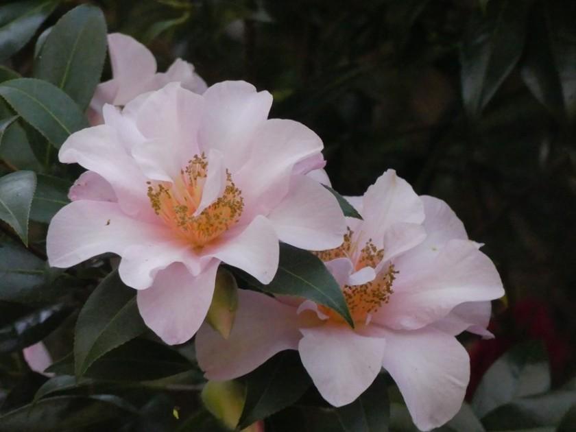 Hugh's camellia