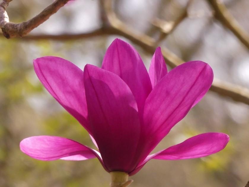 Hugh's Magnolia 2