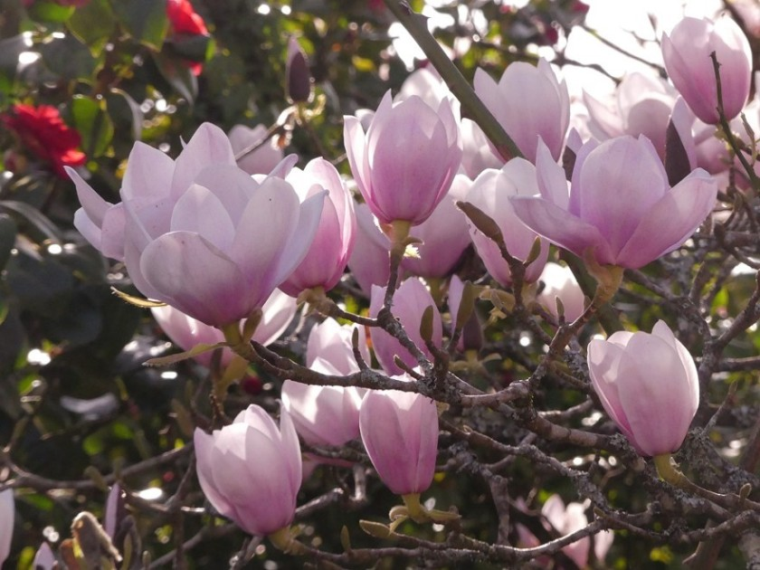Hugh's Magnolia