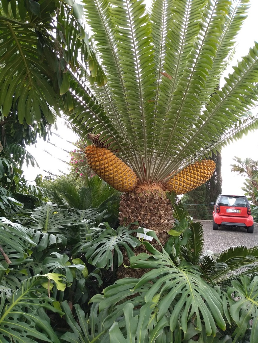 Rob's Cycad from Monte Place gardens Madeira A