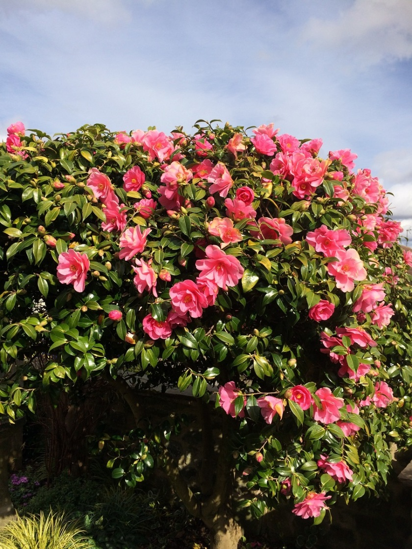 Glynis's camellia A