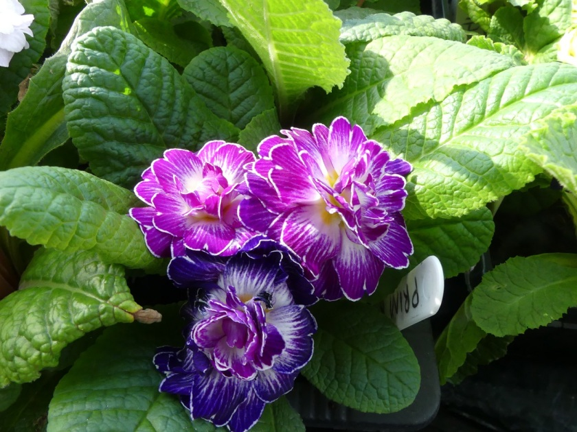 Hugh 's double primula from Hayloft A