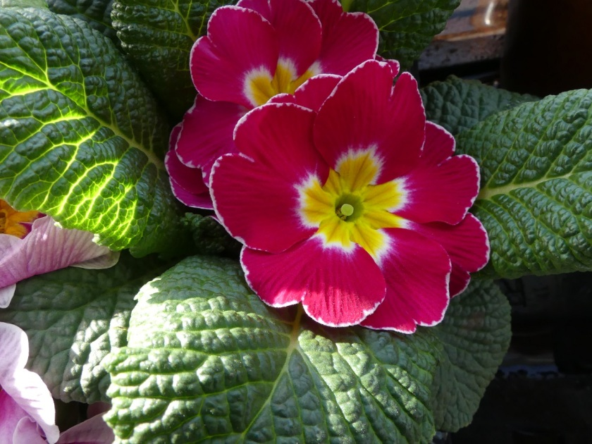 Hugh 's red primula A