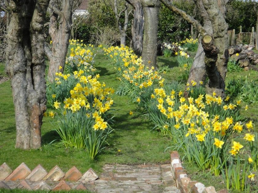 Jo's Daffodil Path A