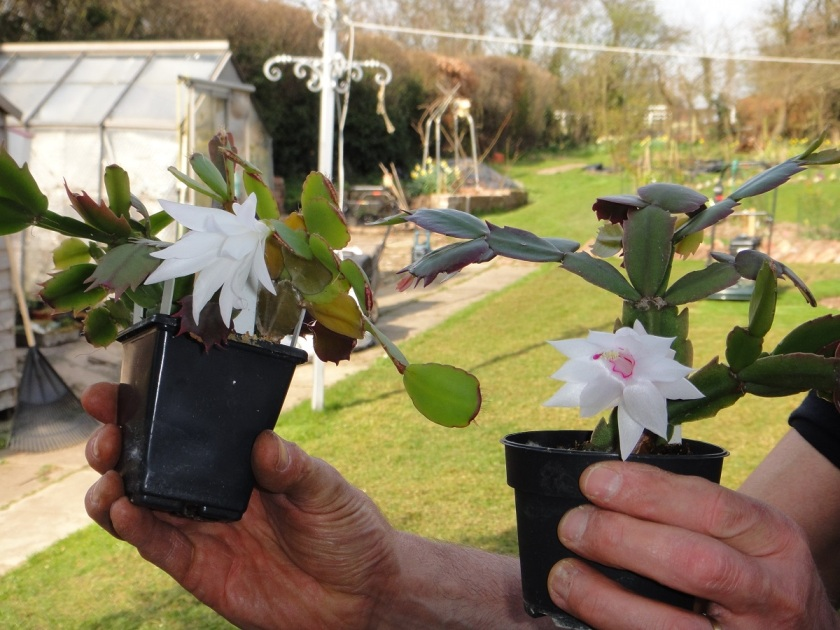Jo's White Christmas Cactus Novembro Brasil and white Easter Cactus A
