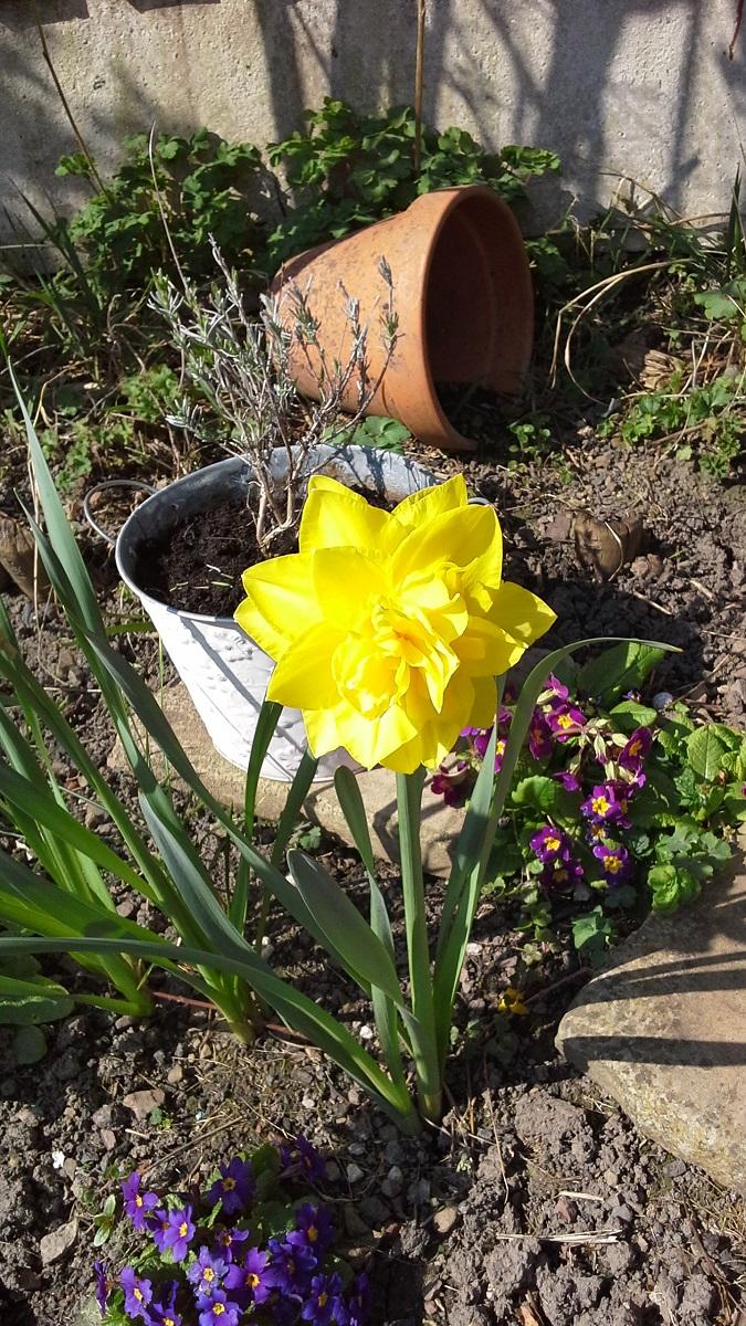 Tony's daffodil 1 A