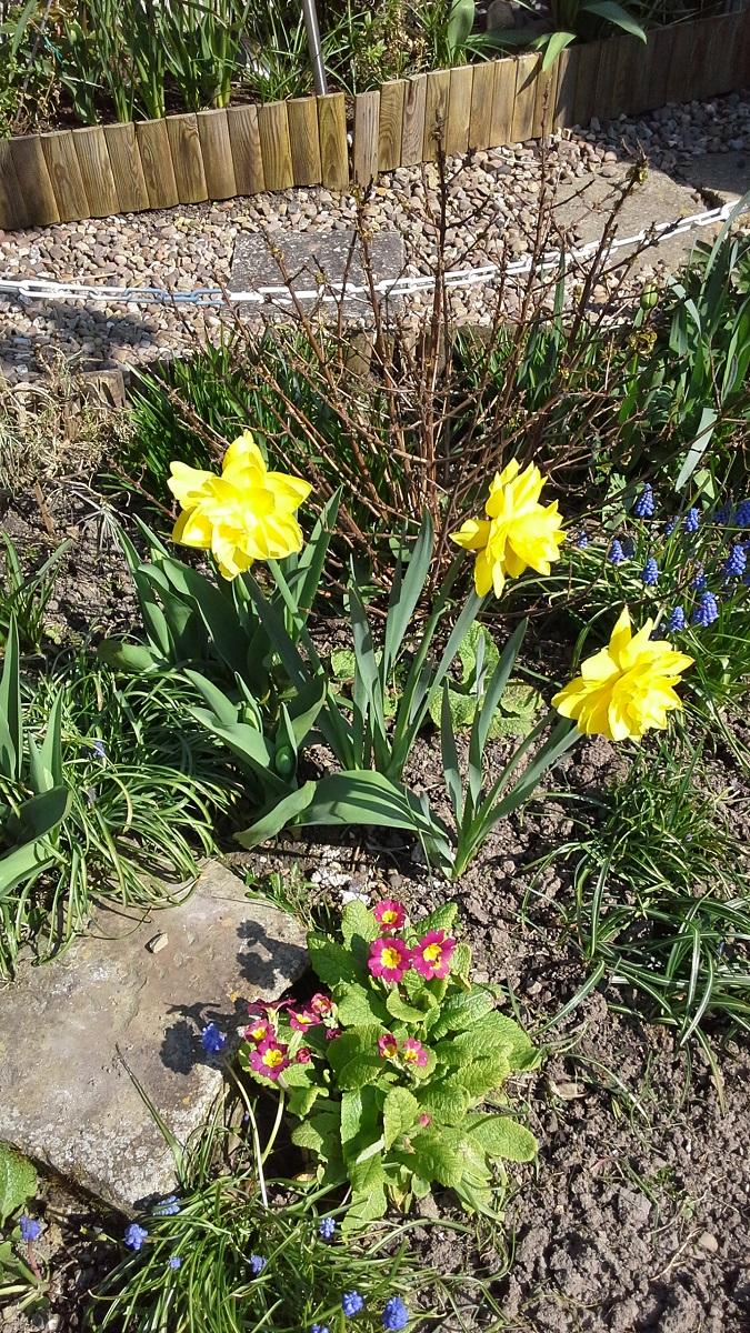 Tony's daffodil 2 A