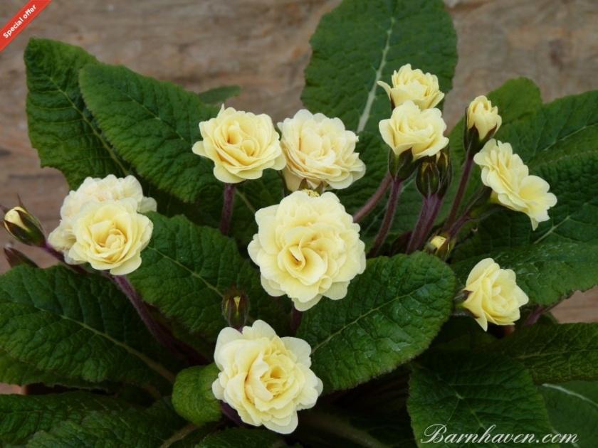 double-primrose-creme-du-tregor Barnhaven Primroses