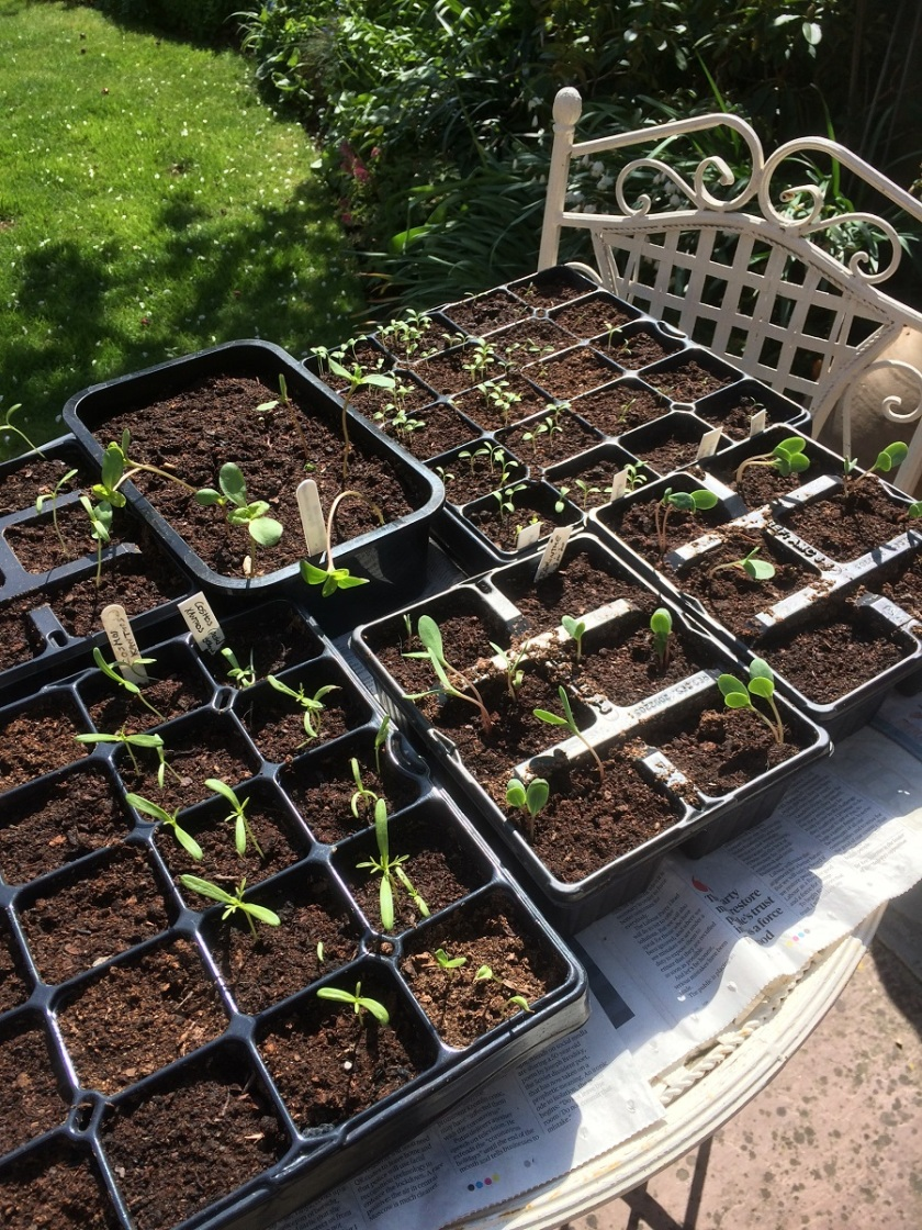 Glynis's germinating seeds A