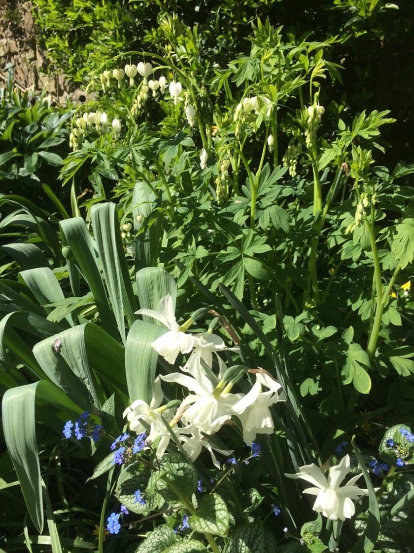 Glynis's Lamprocapnos spectabilis album and Narcissus Thalia A