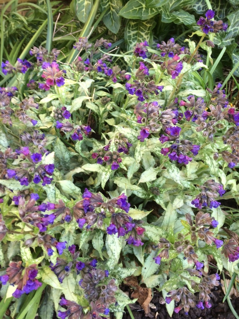 Glynis;s Pulmonaria Diane Clare A