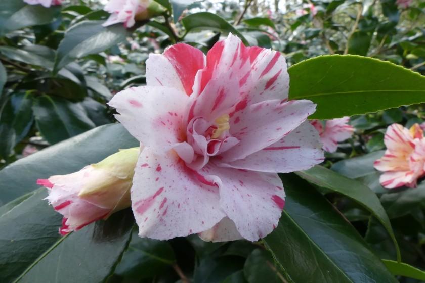 Hugh's 202003 H Dunham Masey (38)_Custom Camellia japonica Lavinia Maggi