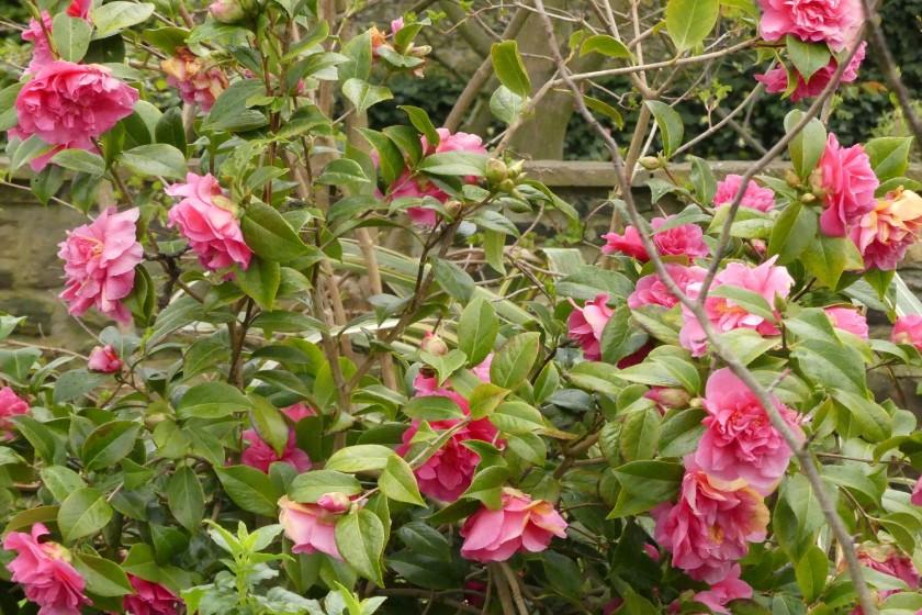 Hugh's camellia 2