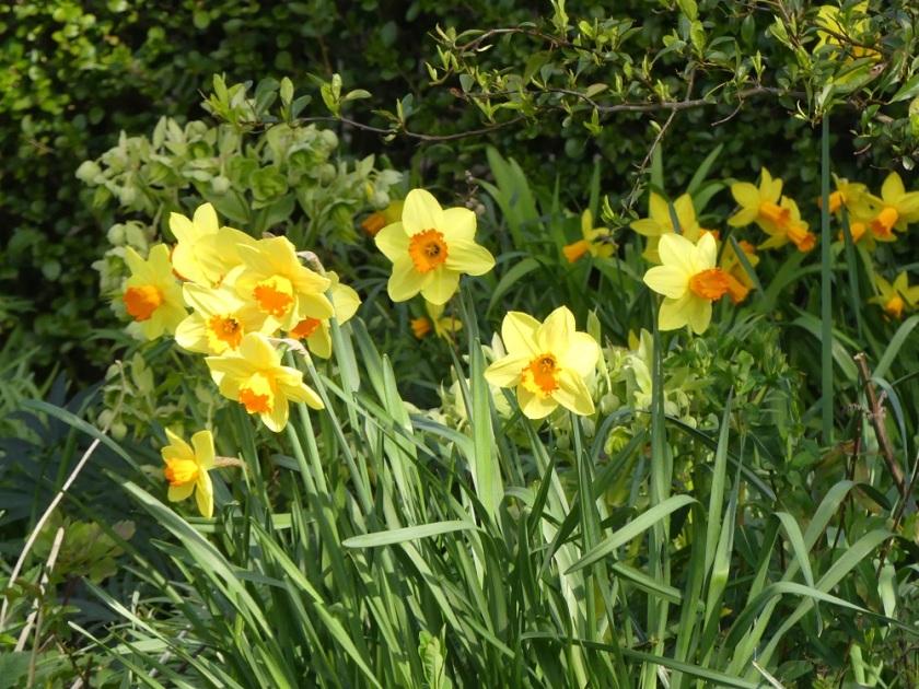 Hugh's daffodils A
