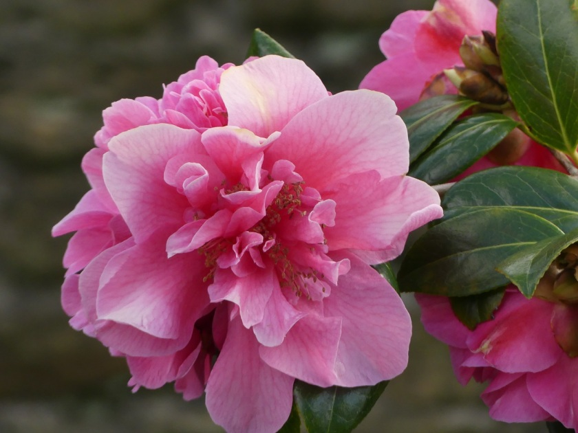 Hugh's Double camellia A