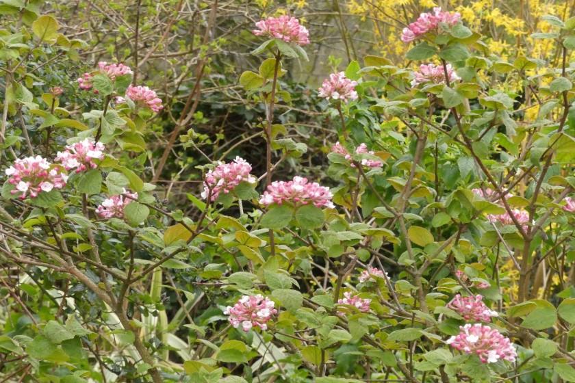 Hugh's Viburnum carlesii
