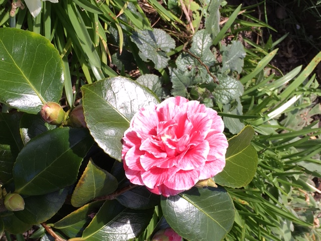 Judy's camellia