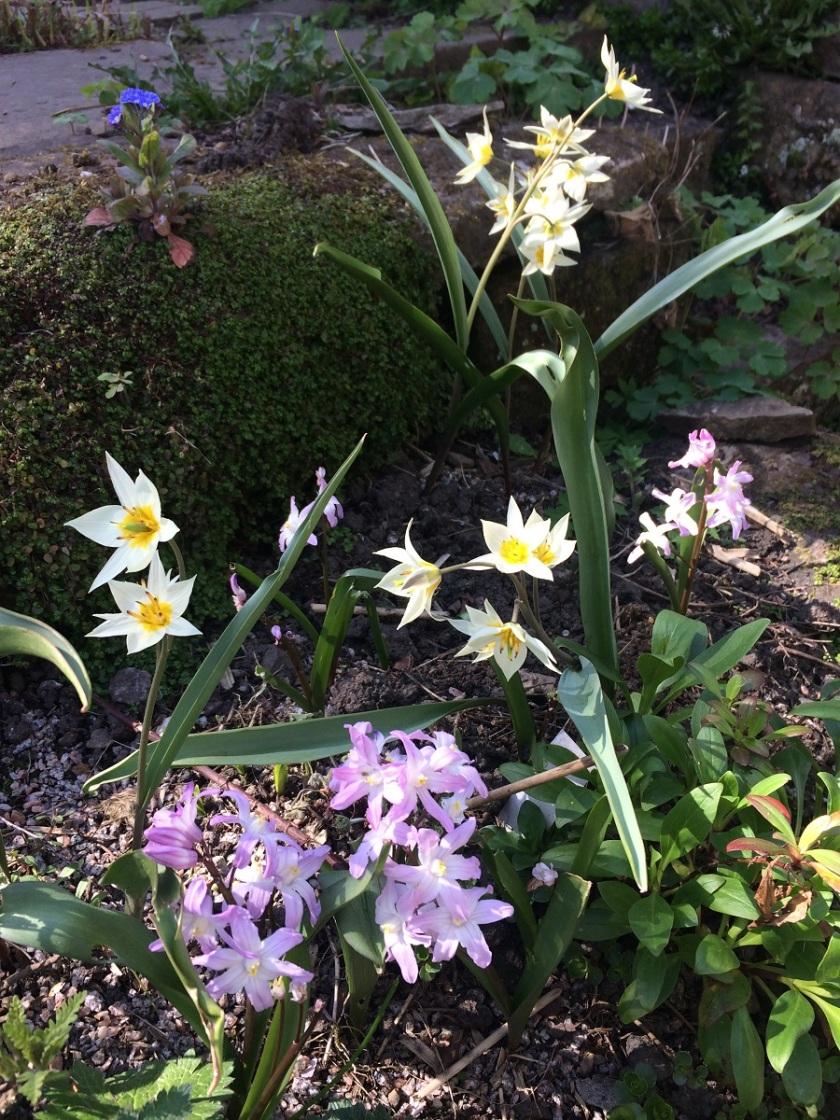 Lesley's Tulipa turkestanica and Chionodoxa forbesii A