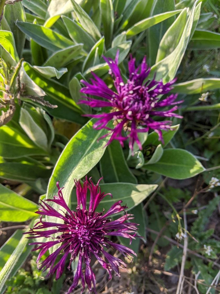 Nat's Centaurea montana A