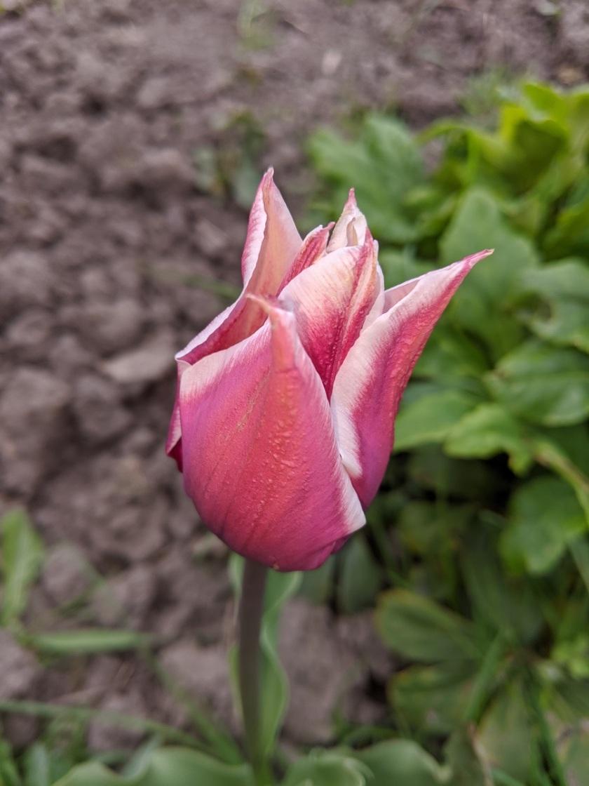 Nat's tulip 1 A