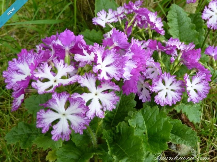 primula-sieboldii-lacy-lady Barnhaven primroses
