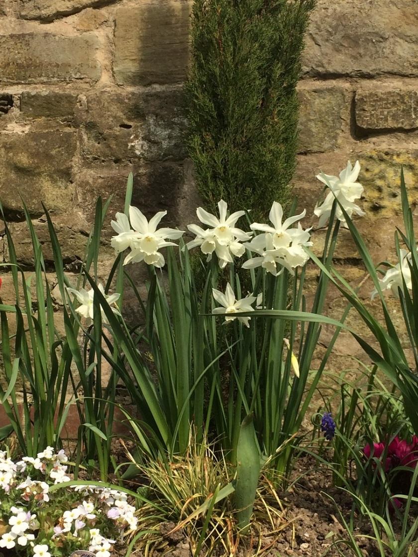 Glynis's triandrus daffodils 2 A