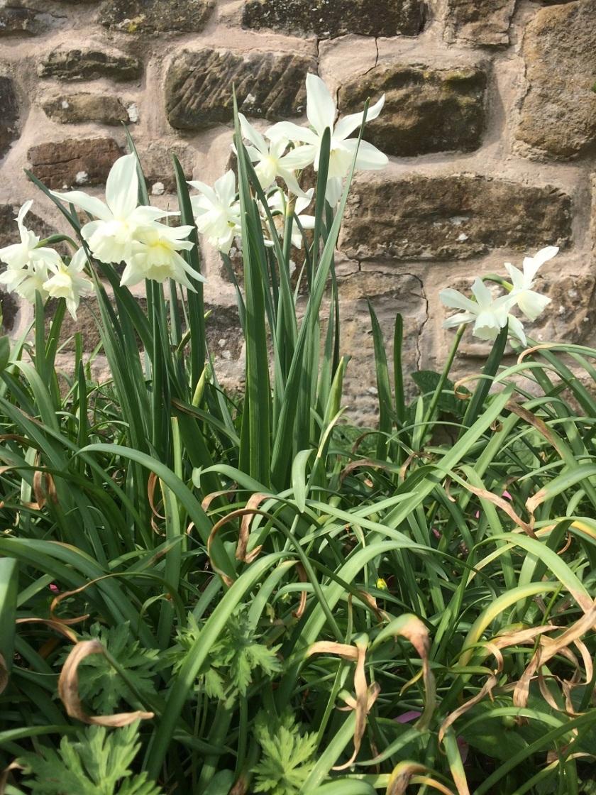 Glynis's triandrus daffodils A