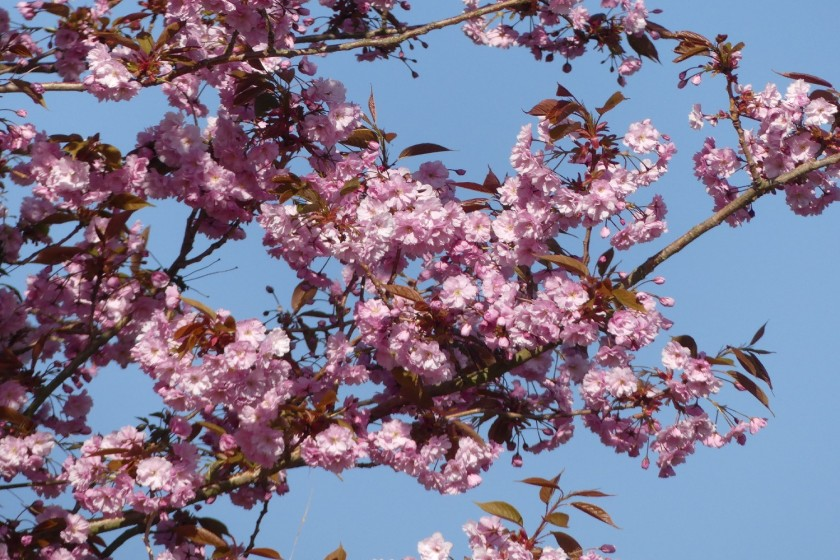 Hugh's Prunus
