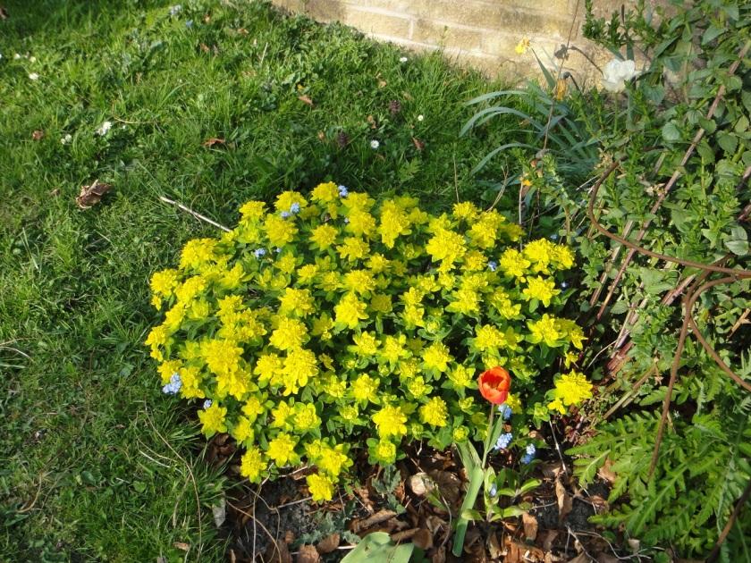 Jo's Euphorbia polychroma