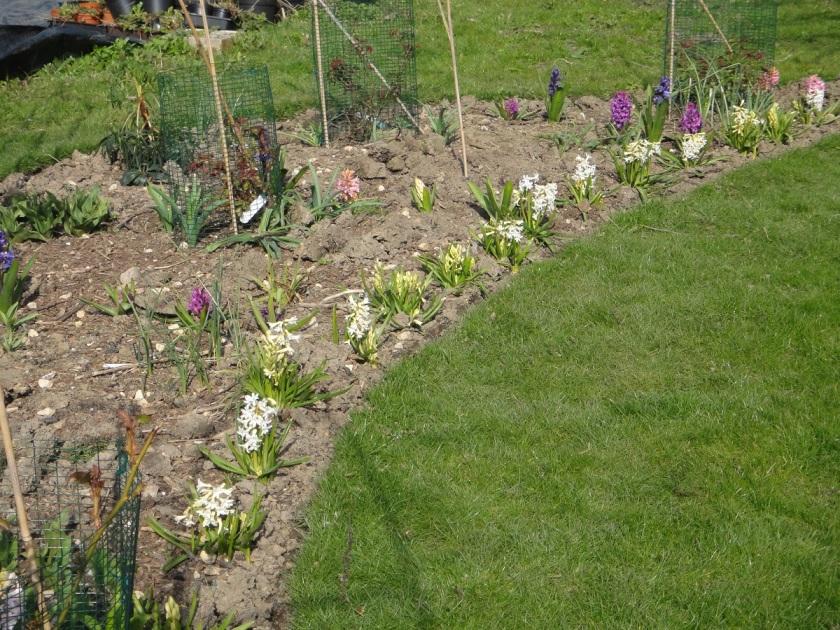 Jo's Hyacinth multiflora