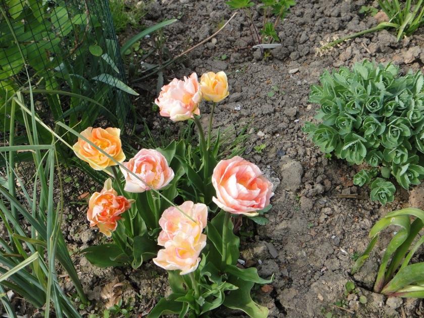 Jo's Tulip Charming Lady