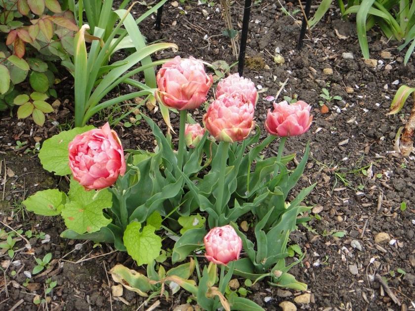 Jo's Tulip Copper Image