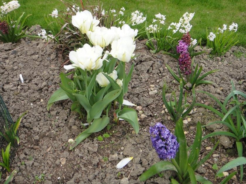 Jo's Tulip Exotic Emperor