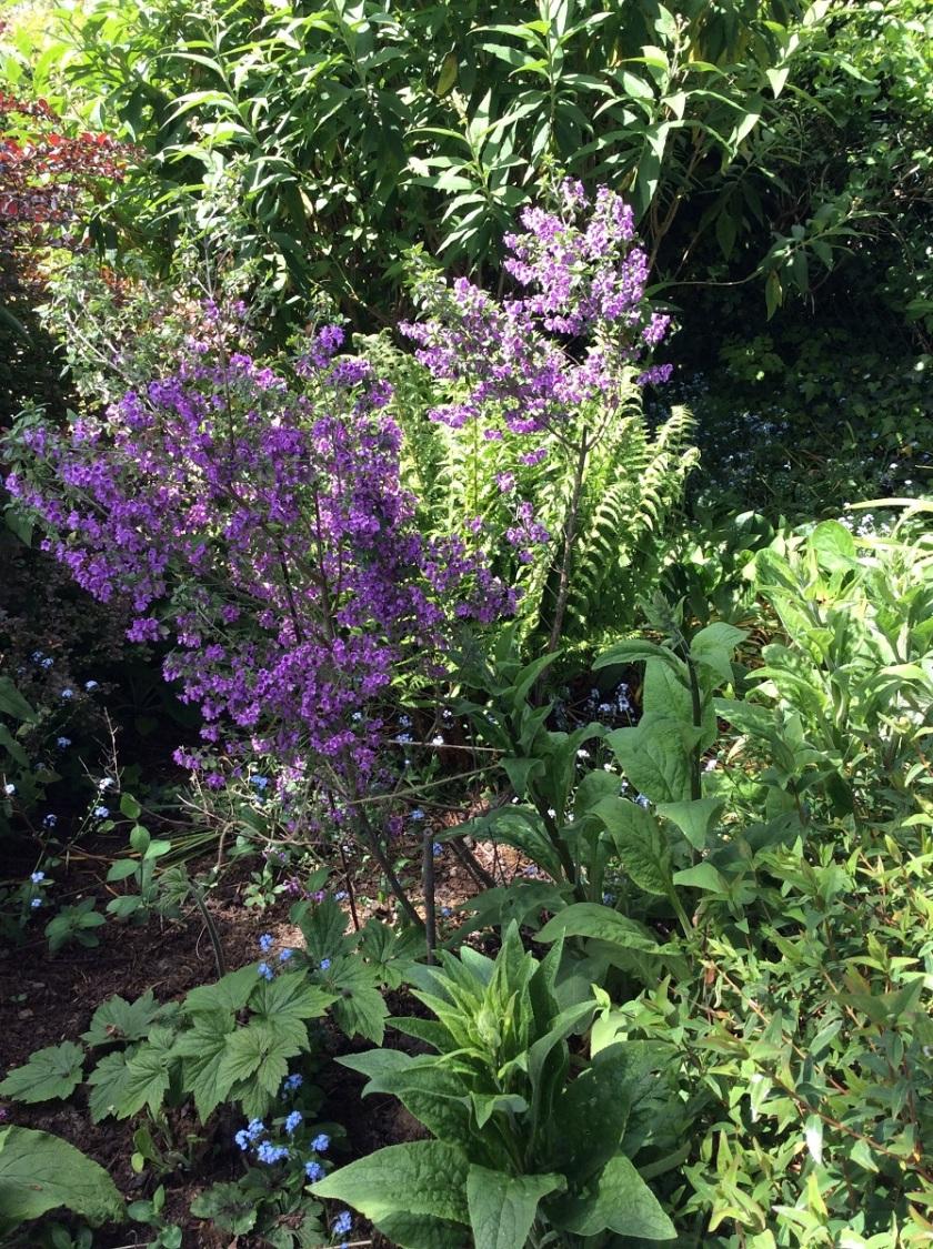 Judy's Prostanthera incisa rosea Cut-leaved mint bush A